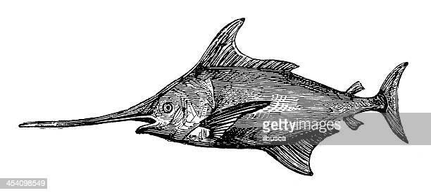Antique illustration of Swordfish (Xiphias gladius)