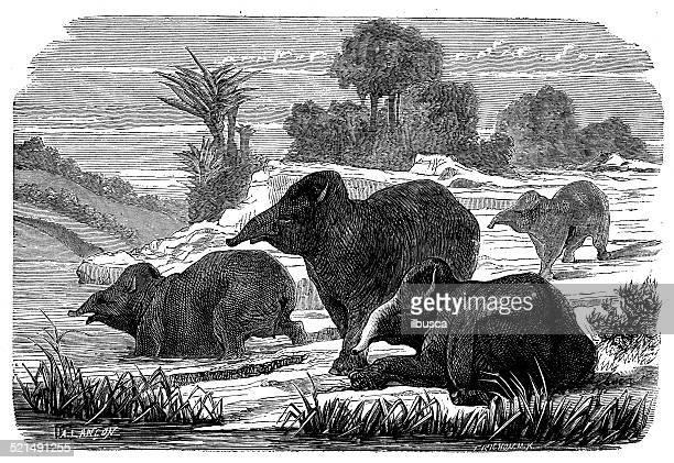 Antique illustration of tapirs