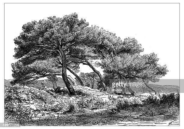 antique illustration of the mediterranean scrub in the cannes surroundings - cannes stock illustrations, clip art, cartoons, & icons