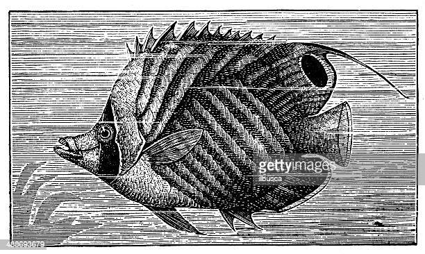 antique illustration of threadfin butterflyfish (chaetodon auriga) - butterflyfish stock illustrations, clip art, cartoons, & icons