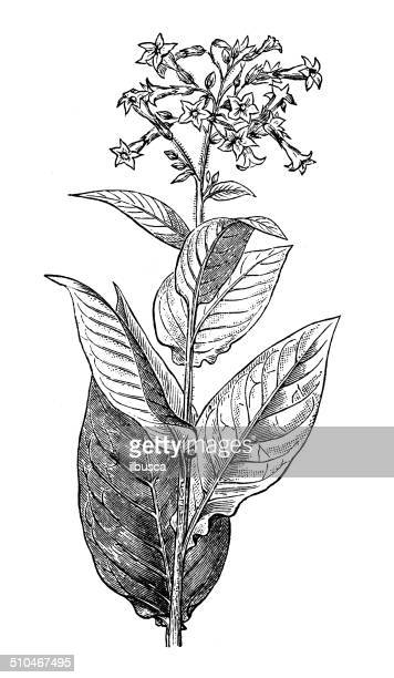 antique illustration of tobacco (nicotiana tabacum) - tobacco crop stock illustrations, clip art, cartoons, & icons