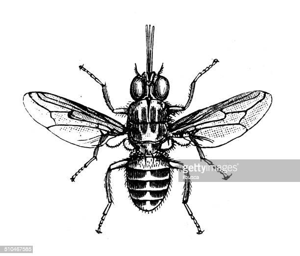 antique illustration of tsetse fly - tsetse fly stock illustrations
