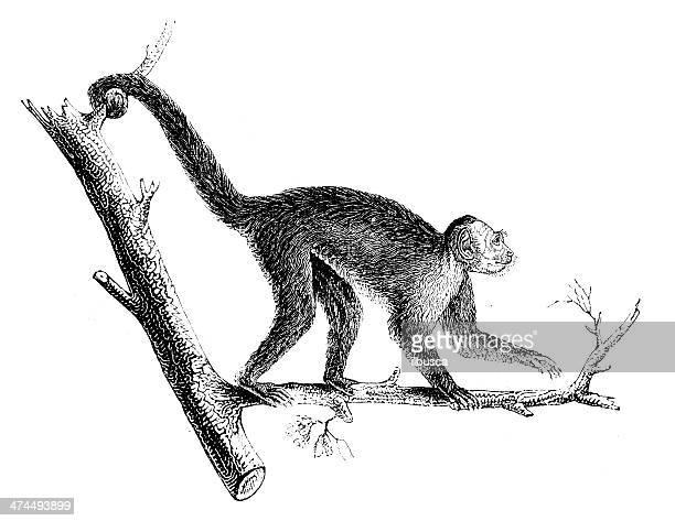 antique illustration of tufted capuchin (cebus apella) - lemur stock illustrations, clip art, cartoons, & icons