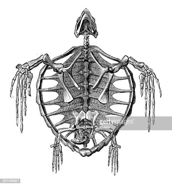Antique illustration of turtle skeleton bones