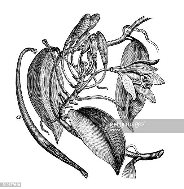 antique illustration of vanilla planifolia - single flower stock illustrations