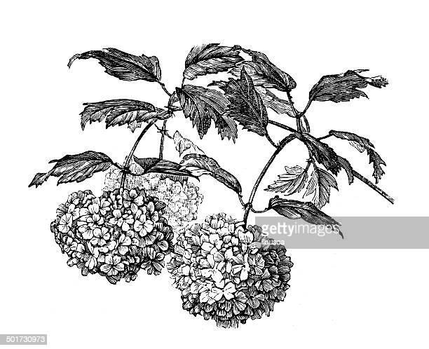 antique illustration of viburnum opulus (guelder rose) - arrowwood stock illustrations, clip art, cartoons, & icons
