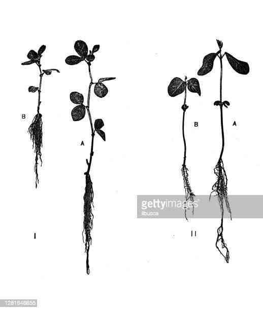 """illustrazioni stock, clip art, cartoni animati e icone di tendenza di antique illustration of vicia faba cultivation experiments - """"ilbusca"""""""