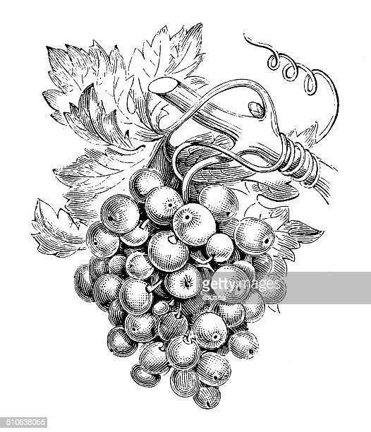 Antique illustration of vine (Vitis vinifera)
