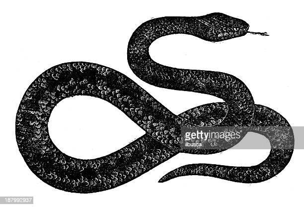 Antique illustration of viper