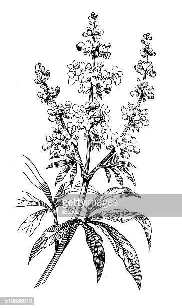 antikes illustration vitex agnus-castus (vitex, chaste baum, chasteberry) - unschuld stock-grafiken, -clipart, -cartoons und -symbole
