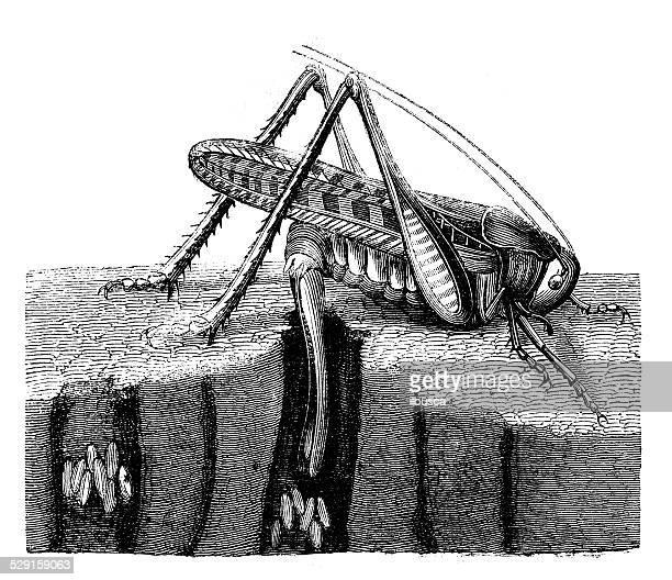 Antique illustration of  wart-biter (Decticus verrucivorus)