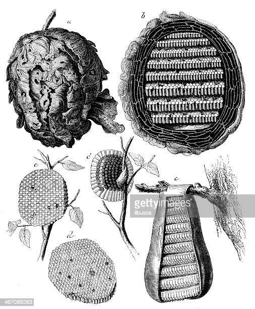 illustrations, cliparts, dessins animés et icônes de ancienne illustration de guêpe, espèce menacée, viennent pondre - ruche