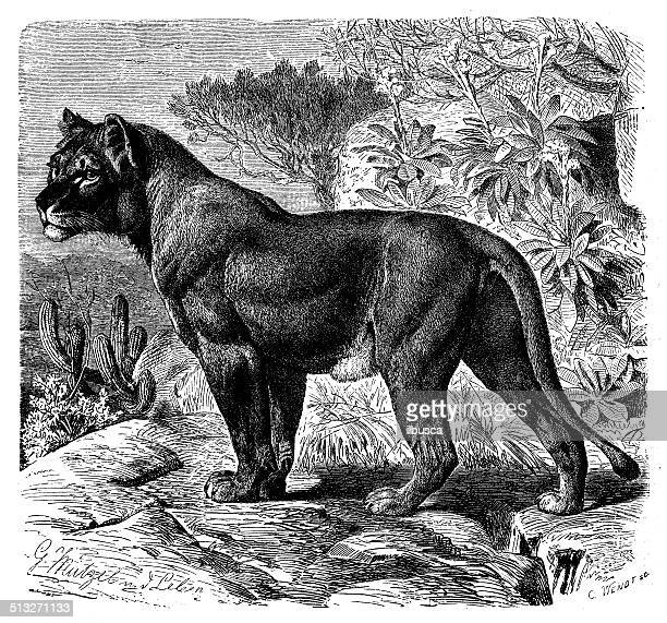 antique illustration of west african lion (panthera leo senegalensis) - senegal stock illustrations, clip art, cartoons, & icons