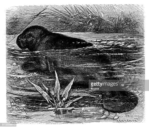Antique illustration of West Indian manatee (Trichechus manatus)