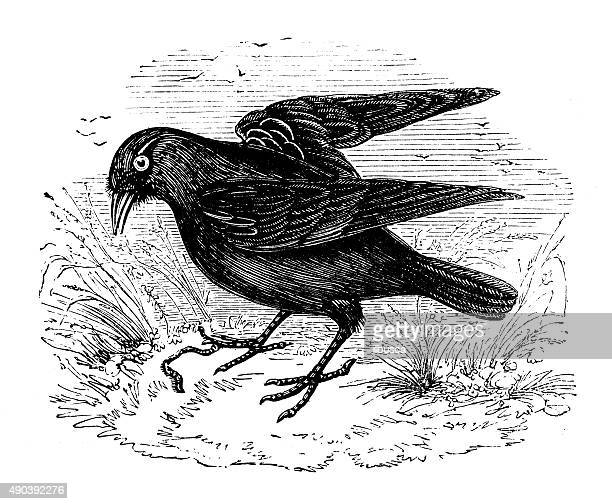 antique illustration of western jackdaw (corvus monedula) - magpie stock illustrations