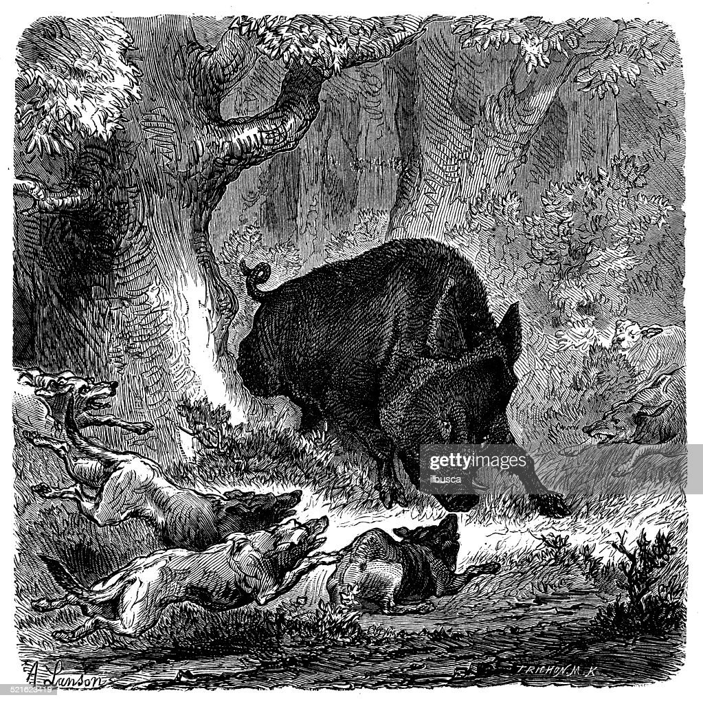 Antique Illustration Of Wild Boar Attacking Dogs stock