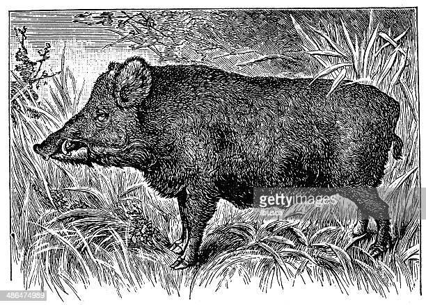 antikes illustration von wilde eber - schwarzweiß bild stock-grafiken, -clipart, -cartoons und -symbole