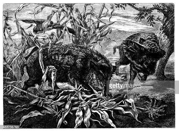 antique illustration of wild boars in corn field - zea stock illustrations, clip art, cartoons, & icons