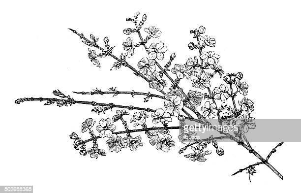 Antique illustration of Winter jasmine (Jasminum nudiflorum)