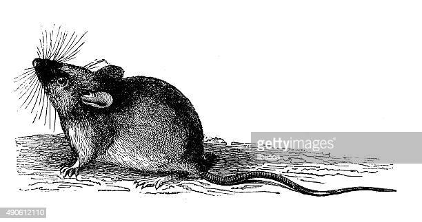 antique illustration of wood or long-tailed field mouse (apodemus sylvaticus) - rodent stock illustrations