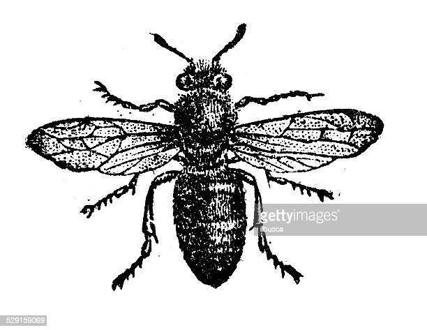 antique illustration of worker bee - worker bee stock illustrations