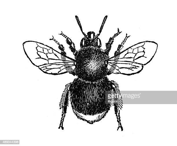 antique illustration of worker of red-tailed bumblebee (bombus lapidarius) - worker bee stock illustrations