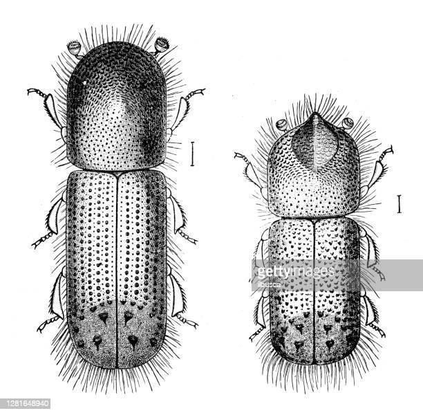 """illustrazioni stock, clip art, cartoni animati e icone di tendenza di antique illustration of xyleborus celsus - """"ilbusca"""""""