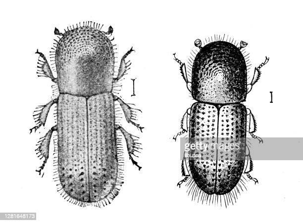 """illustrazioni stock, clip art, cartoni animati e icone di tendenza di antique illustration of xyleborus xylographus - """"ilbusca"""""""