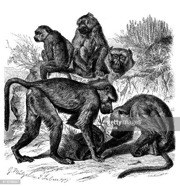 Anticuario ilustración de papión amarillo (Papio cynocephalus)