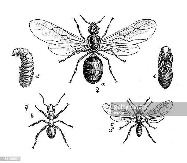 ilustraciones, imágenes clip art, dibujos animados e iconos de stock de anticuario ilustración de amarillo meadow ant (lasius flavus) - hormiga