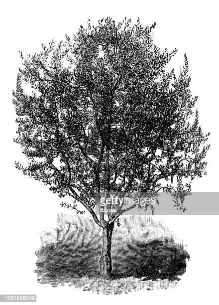 """illustrazioni stock, clip art, cartoni animati e icone di tendenza di antique illustration of young mission olive tree - """"ilbusca"""""""