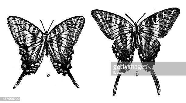 Antique illustration of Zebra Swallowtail (Protographium marcellus, Papilio ajax)