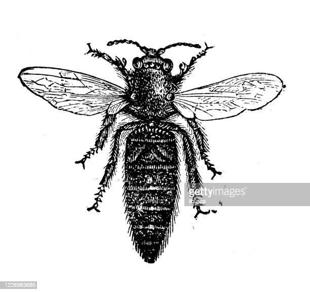 antique illustration: queen bee - worker bee stock illustrations