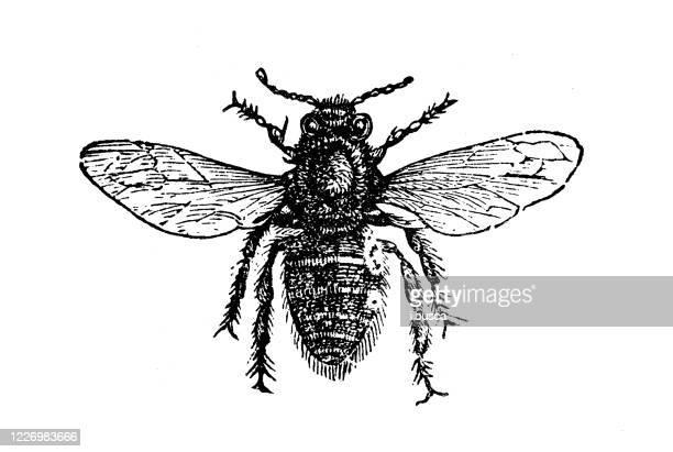antique illustration: worker bee - worker bee stock illustrations