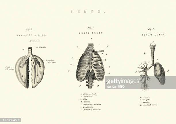 Antique medical diagram, Lungs comparison birds and human
