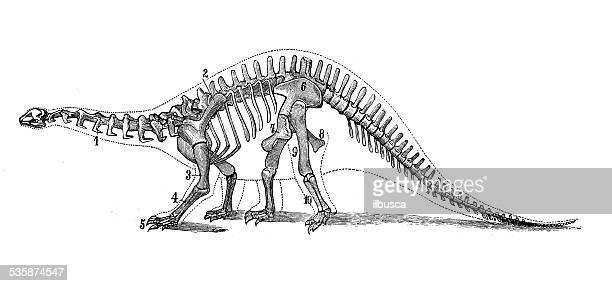 ilustrações de stock, clip art, desenhos animados e ícones de antigo científica médica de ilustração: brontossauro skeleton - dinossauro desenho