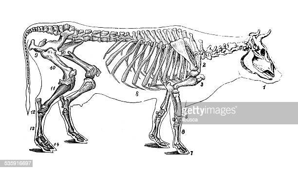 Antique medical scientific illustration: cattle skeleton