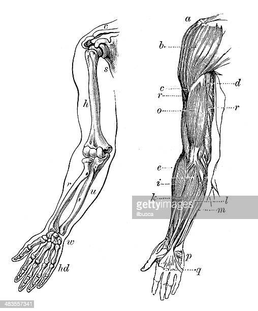Antique medical scientific illustration high-resolution: arm bones and muscles