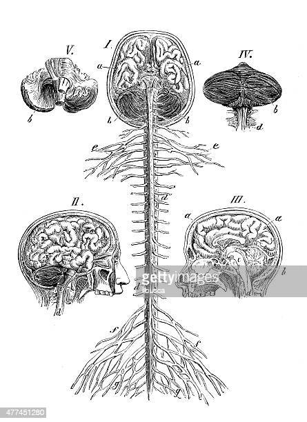 antikes medizinische wissenschaftliche illustrationen hoher auflösung: gehirn und wirbelsäule - menschliches körperteil stock-grafiken, -clipart, -cartoons und -symbole