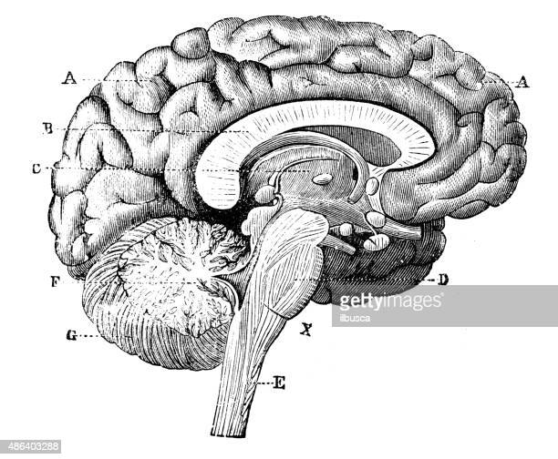 antique medical scientific illustration high-resolution: brain - brain stock illustrations