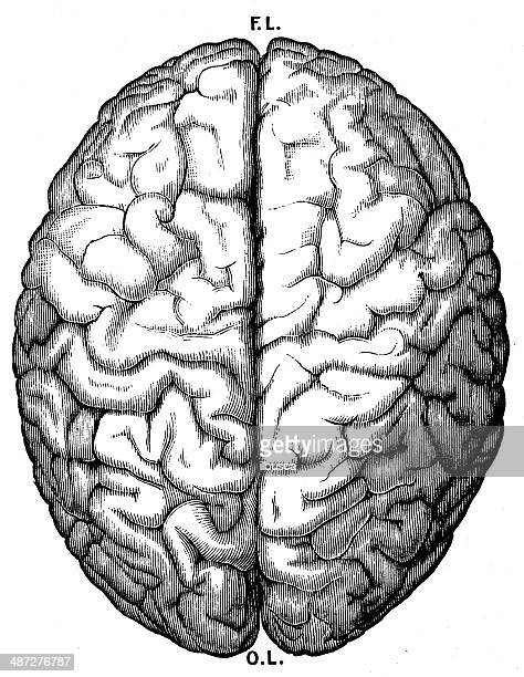 Antique medical scientific illustration high-resolution: brain