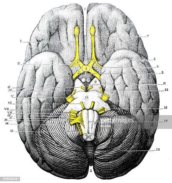 antique medical scientific illustration high-resolution: brain - neurosurgery stock illustrations, clip art, cartoons, & icons