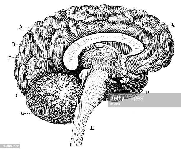 Antique medical scientific illustration high-resolution: brain section profile