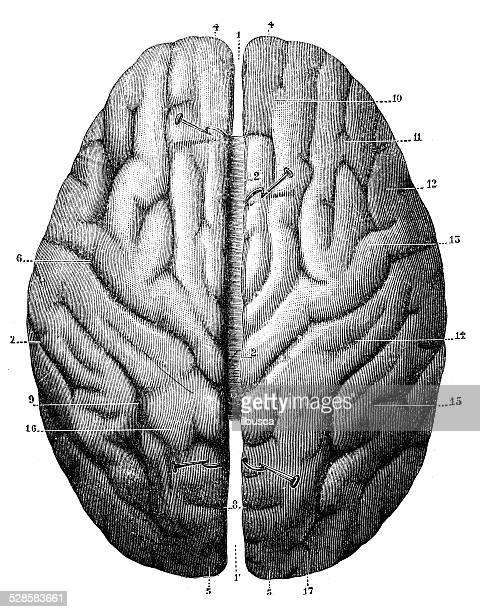 antique medical scientific illustration high-resolution: brain top view - neurosurgery stock illustrations, clip art, cartoons, & icons