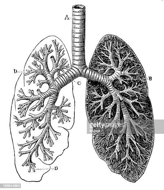 antique medical scientific illustration high-resolution: bronchial tree - antique stock illustrations