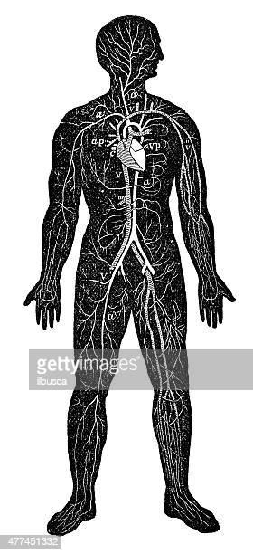 Antique medical scientific illustration high-resolution: Circulatory system