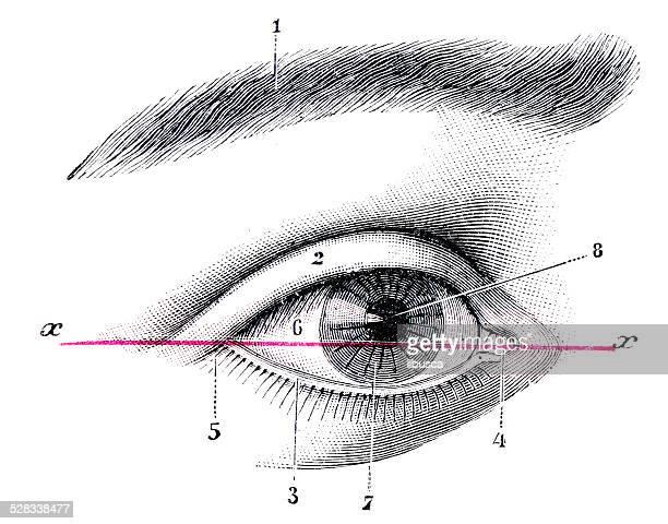 ilustraciones, imágenes clip art, dibujos animados e iconos de stock de anticuario científica médica ilustración de alta resolución: ojo - ilustración biomédica