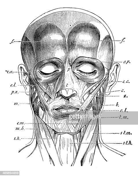 Antique medical scientific illustration high-resolution: face muscles