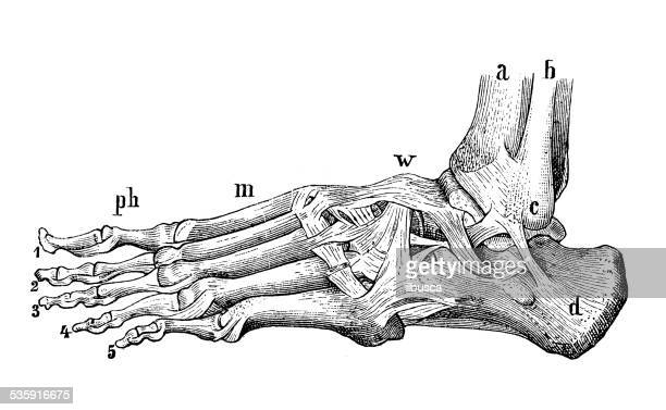 antique medical scientific illustration high-resolution: foot bones and muscles - foot stock illustrations, clip art, cartoons, & icons