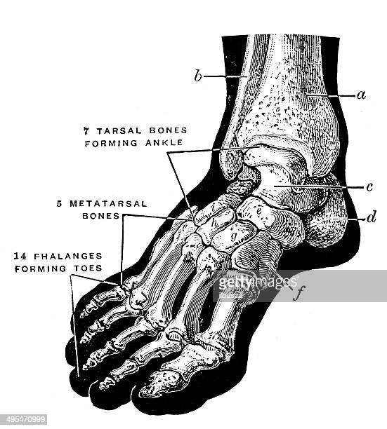 antique medical scientific illustration high-resolution: foot bones - foot bone stock illustrations